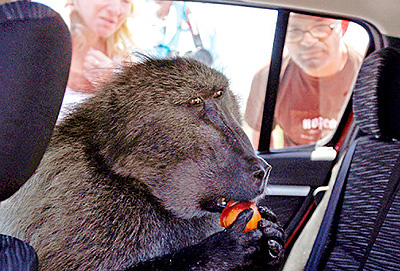 baboon driver