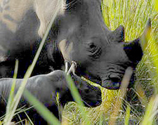 Baby born yesterday in the Ziwa Reserve, Uganda.  Photo by Angie Genade.