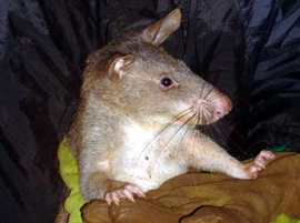 The African Giant Pouched Rat<br>has no shadow to see.