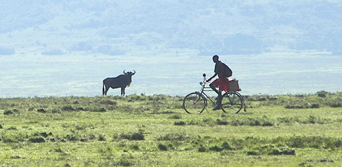 Wildebeest survive, but Maasai must move on.