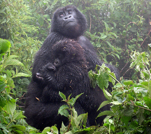 Mom.gorilla