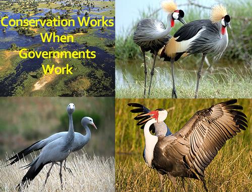 Wattled Crane - Copyright © Grant Atkinson