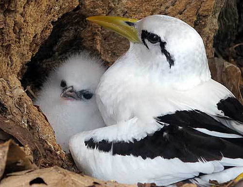 nestingtropicbird