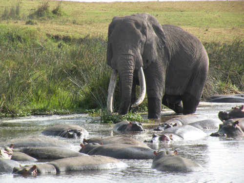 The last of the big tuskers by Steve Taylor.