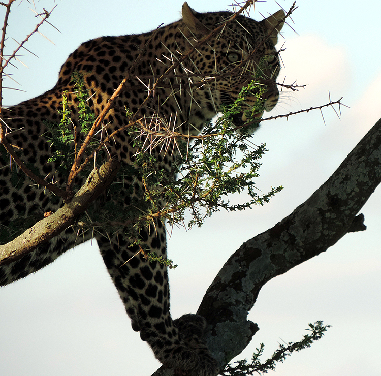 leopardintree