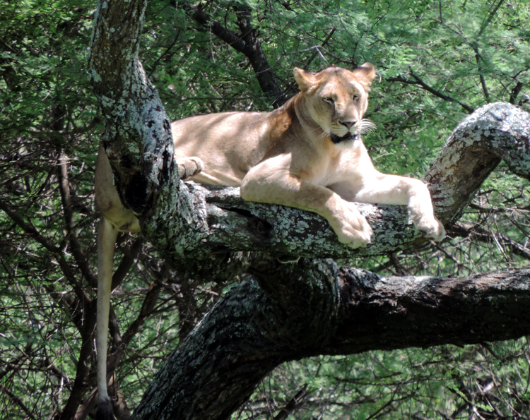 lionintree