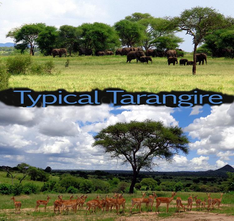typical tarangire