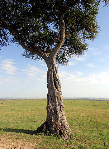 one old serengeti tree.690