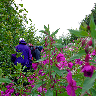 hikinginfireweed.GB.670.jul14