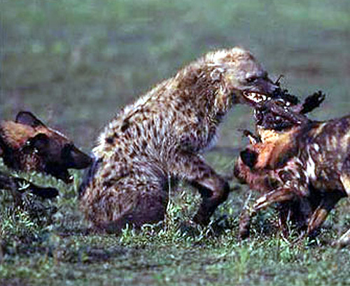 fightofthehyaenas