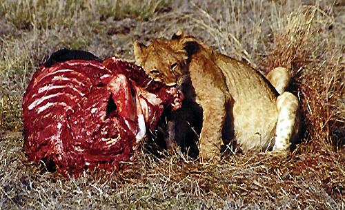 21Jul.lion.cubbellyfull