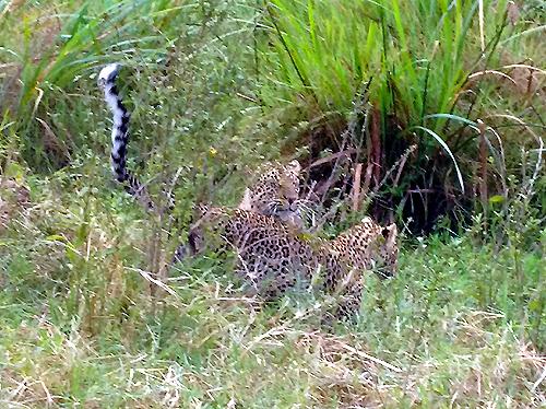leopardMaraBP