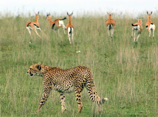 cheetahingazelle.melville