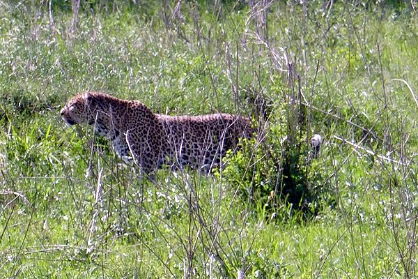 Stalking Leopard.897.MMcall