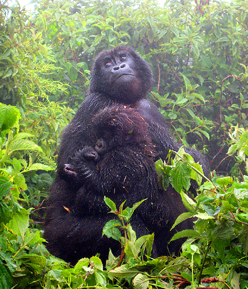 14Jul.Gorilla.Jim.462a.PdV