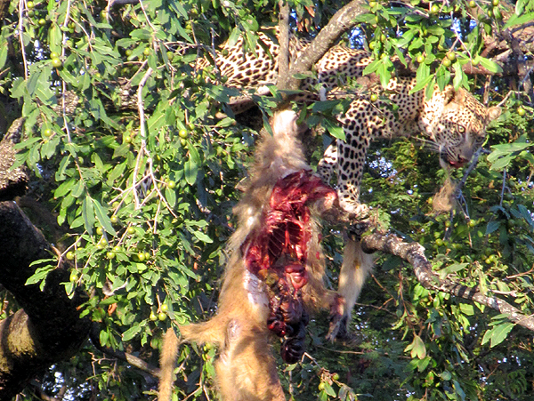 leopardonbaboon