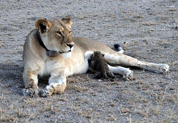 LionNursesLeopard